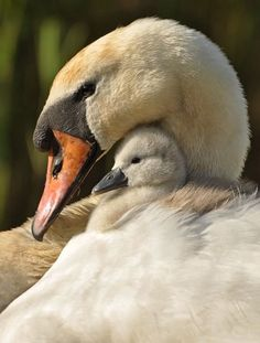 Swan and Cygnet. Beautiful Swan, Beautiful Birds, Animals Beautiful, Animals And Pets, Baby Animals, Cute Animals, Cygnus Olor, Mute Swan, Tier Fotos