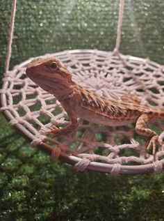 Bearded dragon are climbers at all ages. Hammocks provides them good places for basking, hiding and relaxing. Bearded Dragon Vivarium, Bearded Dragon Enclosure, Bearded Dragon Terrarium, Bearded Dragon Habitat, Bearded Dragon Cage Ideas, Cute Bearded Dragon, Bearded Dragon Tank Setup, Terrarium Reptile, Gecko Terrarium