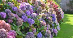 Hobby-Gärtner sind sich einig: Hortensien sind eine wunderschöne Bereicherung für den Garten. Bei MEIN SCHÖNER GARTEN finden Sie zahlreiche Pflegetipps, doch wie sieht es mit den Erfahrungen unserer Facebook-Nutzer aus? Wir haben sie nach ihren besten Tipps für schöne Hortensien gefragt.