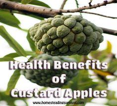 Health Benefits of Custard Apples - More info here: http://homesteadingsurvival.com/health-benefits-of-custard-apples/