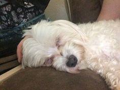 Maltese dog for Adoption in McKinney, TX. ADN-407479 on PuppyFinder.com Gender: Male. Age: Young