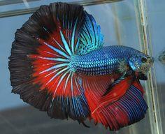 Rare Betta Fish | ... posts 136 aquaone betta barracks custom 6 betta barracks halfmoon pair