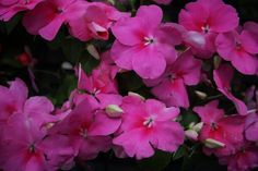 Impatien Dazzler Deep Pink:  Partial to Full Shade Use 'Impatiens' to add summer-long color to shade gardens, either planted in large drifts or interspersed amoung perennials, as well as in containers. Hickory Hollow Nursery and Garden Center 713 Rt. 17 Tuxedo, NY 10987 845-351-7226 hickoryhollow@optonline.net www.facebook.com/
