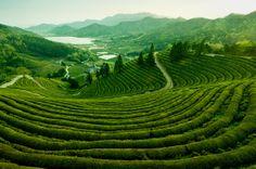 Beseong Green Tea Plantation, Jeollanam-do, South Korea. AFAR Highlight by Flash Parker. #travel #SouthKorea