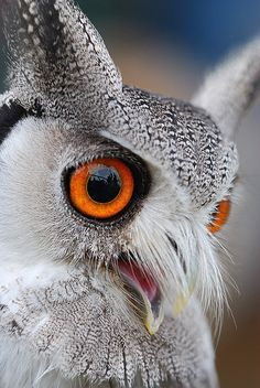White-faced Scops Owl by Andy Drake