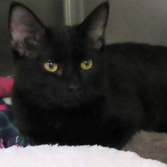 💓 Bronx  Domestic Short Hair blend      Sex: Male-Neutered     Estimated Age: 7 months     Weight: 7.06 lbs     Color: Black     Status: Available