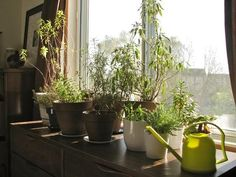 How to Overwinter Your Outdoor Herbs: Well, I have moved several planter boxes indoors and am hoping for the best.