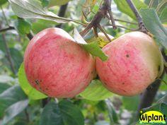 Malus domestica Huvitus, sommarsort. Växt: Skörd: tidig, riklig. Frukt: rätt liten, grön, röd täckfärg, söt, milt syrlig, mör och saftig. Hållbarhetstid: 1-2 veckor