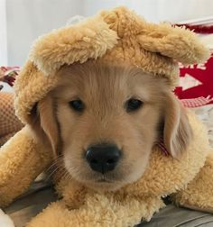 "Check out our internet site for more information on ""golden retriever pup"". It is actually an exceptional location to read more. Super Cute Puppies, Cute Little Puppies, Cute Dogs And Puppies, Baby Dogs, Doggies, Cute Funny Animals, Cute Baby Animals, Funny Dogs, Perros Golden Retriever"