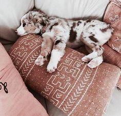 Australian Shepherd Dog Breed Information, Beliebte Bilder - Soo cute - Chien Cute Puppies, Cute Dogs, Dogs And Puppies, Cute Babies, Doggies, Aussie Puppies, Funny Dogs, Teacup Puppies, Corgi Puppies