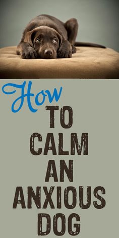 How to Calm an Anxious Dog - Advice on using aromatherapy, herbs, acupressure, & exercise to ease some of the anxiety your pup endures. I Heart Dogs Dog Care Tips, Pet Care, Dog Anxiety, Old Dogs, Dog Training Tips, Anxious, Dog Life, Puppy Love, Best Dogs