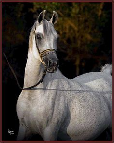 Asilia RCA (Thee Asil x MB Pirouette) 2002 grey SE mare bred by Rock Creek Arabians, Texas -  Strain: Dahman Shawaniyah