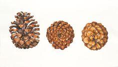 Study of Pinecone