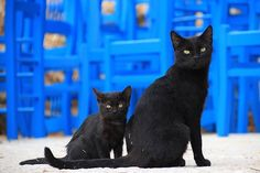 For some, the black cat may be a common icon of Halloween and Frithirteenth. Adopt A Black Cat Baby Kittens, Cats And Kittens, Animals Beautiful, Cute Animals, Mother Cat, Creta, Photo Chat, Cat Names, Cat Breeds