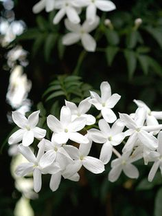 Common jasmine is a vine that can also be used as a ground cover, producing white flowers. *Sun/Part Sun *Can climb up to 35 feet *Very Fragrant *Edible