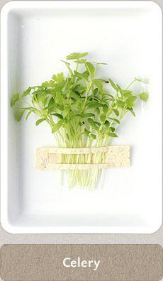 Herbs Micro Herbs, Spices And Herbs, Fresh Herbs, Homemade Seasonings, Herbal Medicine, Home Brewing, Celery, Cupboard, Herbalism