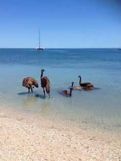 Emus! Never knew they would go in water this way. Must be hot down under!