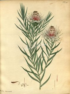 flowers-24045 protea mucronifolia, Mucronate-leaved Protea botanical floral botany natural naturalist nature flowers flower beautiful nice flora plants blooming ArtsCult.com Artscult ArtsCult vintage printable public domain 300 dpi commercial use 1800s 1700s 1900s Victorian Edwardian art clipart royalty free digital download picture collection pack paintings scan high qulity illustration old books pages supplies collage wall decorat