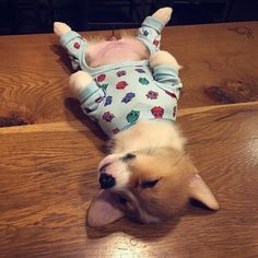 Amelia is wiped out #corgi #corgipup #corgigram #corgilife #corgilove #corgicommunity #corgination #corgiplanet #corgisofinstagram #corgistagram #doggo #pupper #puppers #dogstagram #puppy #cutepuppies #cutenessoverload #sleepy #sleepypuppy @fluffypack @barkbox @unilad @theellenshow @buzzfeedanimals @cuteemergencytv