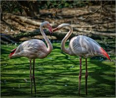 https://flic.kr/p/xTjwH5 | vi dichiaro, marito e moglie // I pronounce you, husband and wife | Fenicottero Rosa // Phoenicopterus roseus ---------------------------------------------------------------------------------------------- Please don't use this image without my explicit permission. © All rights reserved Christian P.