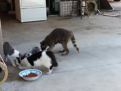 Sneaky Raccoon Steals Food From Cats | Watch the video - Yahoo! Screen