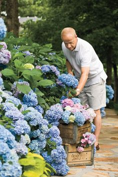6. What's the deal with reblooming hydrangeas? - The Grumpy Gardener's Guide to Hydrangeas - Southernliving. This concerns the French hydrangea, which in times past bloomed only on the previous year's growth. This meant that if a cold winter damaged the growth or some nincompoop pruned the shrub in late fall or winter, you'd be lucky to get any blooms. However, some French hydrangeas bloom on both last year's growth and the current year's growth. Thus, even if you cut them to the ground in…