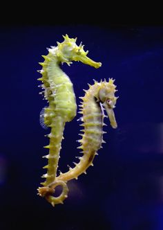 Crowned seahorse (Hippocampus coronatus) タツノオトシゴ