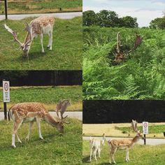 #richmondpark #deers