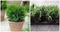 / TUJA szaporítása  /Nem tudod, hogyan kell vágni és elültetni a tűlevelűeket? Mi most megmutatjuk, hogyan lehet egy ágból egy egészséges palánta, amely szép nagyra nő majd. A[...] Garden Trellis, Garden Plants, Succulent Pots, Succulents, Bonsai, Permaculture, Gardening Tips, Aloe, Outdoor Gardens