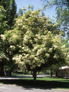 Urban Bouquet® Ash   Fraxinus ornus