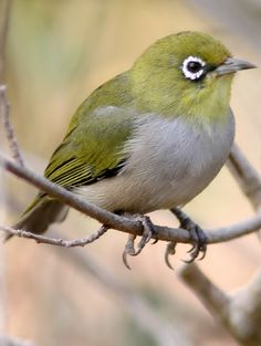 Pretty Birds, Beautiful Birds, Look At The Sky, White Eyes, Backyard Birds, Colorful Birds, Drawings, Artwork, Victoria Australia