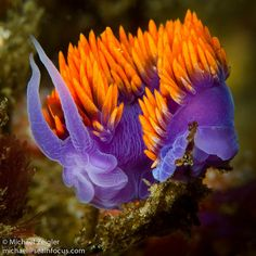 Although a common sight in southern California, the Spanish Shawl nudibranch (Flabellina iodinea) is still one of my favorite subjects. Life Under The Sea, Under The Ocean, Sea And Ocean, Fish Ocean, Pacific Ocean, Underwater Creatures, Underwater Life, Ocean Creatures, Beautiful Sea Creatures