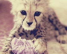 cheetah kitten