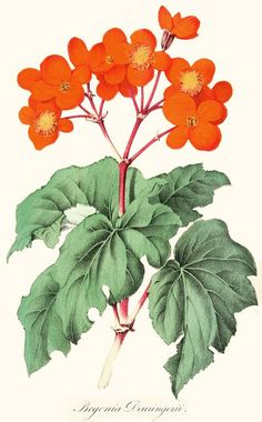 Botanical illustration of begonia deuringerii flowers, circa 1855 by Captain Geoffrey Spaulding