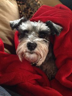 Miniature Schnauzer Luna what an adorable mini✨✨ Mini Schnauzer Puppies, Miniature Schnauzer, I Love Dogs, Puppy Love, Puppy Breath, Cutest Dogs, My Buddy, Beautiful Dogs, Dogs And Puppies