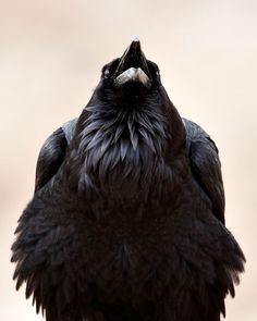 shymollymawk:      Common Raven (Corvus corax)