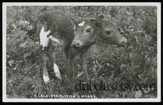 Bizarre VintagevPhoto of Calf with Two Heads by diabolus on Etsy