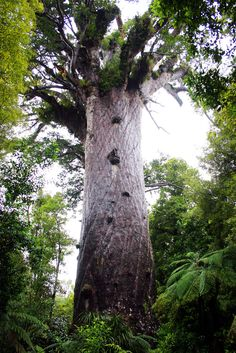 Kauri Forest - Tane Mahuta, the 2,500 year old forest guardian. Not too often you get to see a god in the flesh.. or in the bark as the case may be.