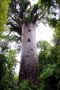 Kauri Forest - Tane Mahuta