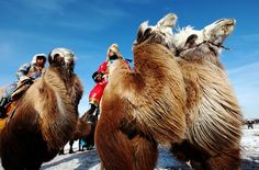 CAMELS: Plains of Inner Mongolia. Men ride camels during a winter festival in Mongolia. This is from 'Travel and Culture' photos on the nationalgeographic.com site  #camels #Mongolia