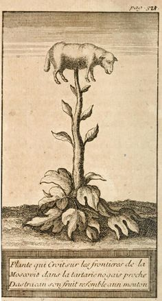The Vegetable lamb of Tartary (Latin: Agnus scythicus or Planta Tartarica Barometz) is a legendary zoophyte of Central Asia, once believed to grow sheep as its fruit.The sheep were connected to the plant by an umbilical cord and grazed the land around the plant. When all accessible foliage was gone, both the plant and sheep died.