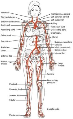 All the major arteries of the human body!