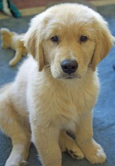 Jake the Golden Retriever.