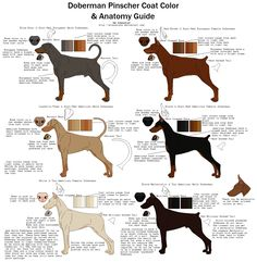Doberman Pinscher Coat Color and Anatomy Guide by xLunastarx Awww, that's MEAN!! American Dobermans have slimmer WEAK bodies compared to European Dobie? Bloozie is slim, but far from weak.