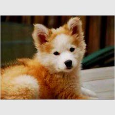 Huskypoo puppy!!