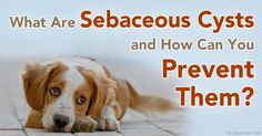 Know the only two instances when you should consider removing your dog's sebaceous cyst, and two ways to prevent it from developing.   http://healthypets.mercola.com/sites/healthypets/archive/2011/08/16/sebaceous-cysts.aspx