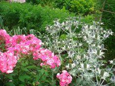 Flower of Carnia Aples