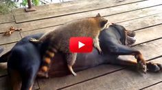 Aw! This video of a dog and raccoon playing is the greatest thing ever! Don't you just love animal odd couples? I know I do!