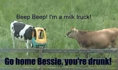 Cow thought it was drive-through grazing...