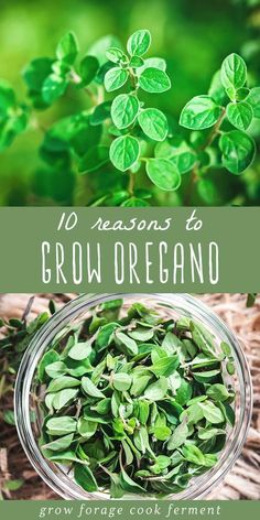 Oregano is an amazing herb, and definitely one that you should have in your backyard herb garden. Learn 10 reasons why you should be growing oregano! Fruit Garden, Herb Garden, Vegetable Garden, Healing Herbs, Medicinal Plants, Hydroponic Gardening, Container Gardening, Inside Plants, Herbs Indoors